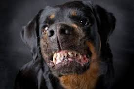 rottweiler dog attacks. rottweiler-dog-attacks rottweiler dog attacks m