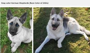 black and white spotted german shepherd. Wonderful White Blue And Black White Spotted German Shepherd A