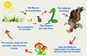 animal food chain. Perfect Food Food Chains Webs And Pyramids In Animal Chain I