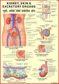 Kidney Skin Chart