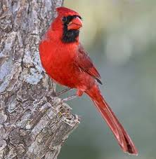 Image result for cardinals in red trees image