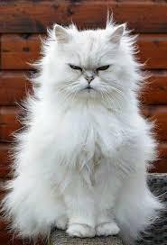 white persian cat. Wonderful Cat Curious White Persian Cat With White Persian Cat E