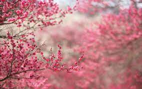 2560x1600 Spring in pink desktop PC and ...