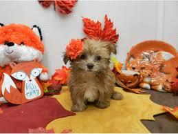 yorkshire terrier morkie dog female golden chocolate 2209943 petland orlando south