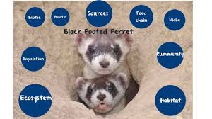 Black Footed Ferret By Thomas Clouthier On Prezi Next