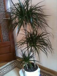 dracaena image dracaena picture dracaena leaves pictures dracaena grow