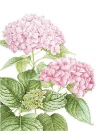 Margaret Best   American Society of Botanical Artists
