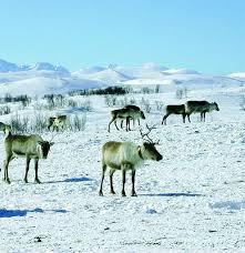 <b>Reindeer</b> suovas - Slow Food Foundation for Biodiversity - Ark of ...
