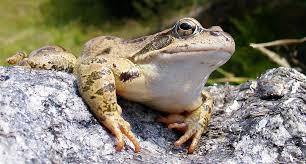 garden frogs. Brilliant Garden Frogsilvuifroglife1200jpg U0027 Intended Garden Frogs