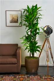 tall office plants. hawaiian lisa cane from houston interior plants tall office m