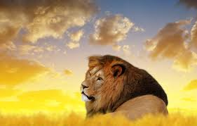 lion ultra hd 4k