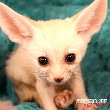 fennec fox. Contemporary Fox Homeu003eShopu003eAnimalsu003eMammalsu003eBaby Fennec Foxes With Fox