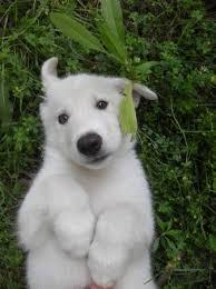 white german shepherd wolf mix puppy. Brilliant Puppy I Got A Dog Today Meet Zeus  Part Wolf German Shepherd For White Mix Puppy