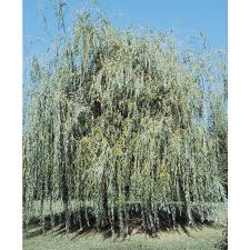 24.5-Gallon Golden Weeping Willow Shade Tree (L7641)
