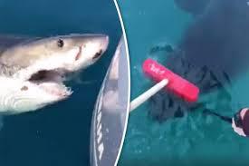 great white shark attacks boat. Perfect Shark Shark Attacks Boat In Scary Video Inside Great White Attacks Boat I