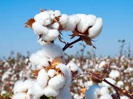 Cci Cci Looks To Buy 10 Million Bales Of Cotton In 2019