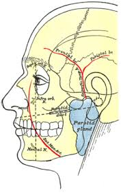 arteries of the face superficial temporal artery wikipedia