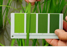 Fall Leaf Color Chart How To Provide Right Nitrogen Dose In Paddy By Leaf Colour Chart