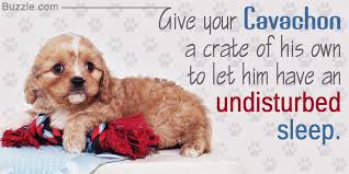 Cavachon Puppy Weight Chart Dont Miss Tips On Grooming And Daily Care For Cavachon Puppies