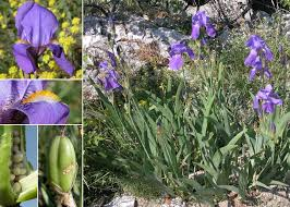 Iris cengialti Ambrosi ex A.Kern. subsp. illyrica (Asch. & Graebn ...
