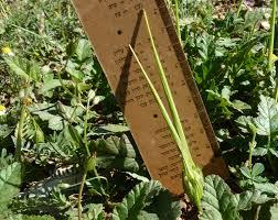 Erodium gruinum (L.) L'Her.   Flora of Israel Online