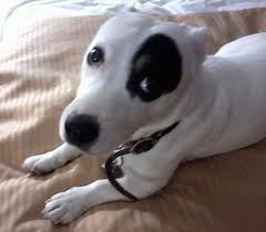 black and white jack russell terrier mix. Delighful Jack Close Up  A White With Black Jack Russell Terrier Laying On A Humanu0027s Tan  Bed And Black White Mix D