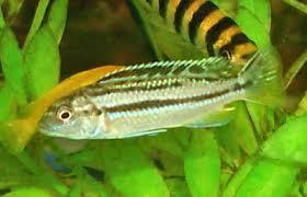 African Cichlid Aggression Chart Auratus Cichlid Melanochromis Auratus Golden Mbuna Cichlid