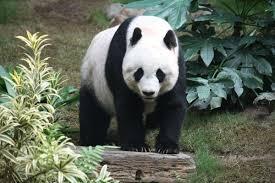 Giant Panda Population Chart Giant Panda Wikipedia