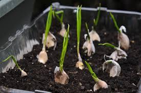 Kitchen Scrap Gardening Urban Gardening Regrow Your Kitchen Veggies Annmarie Gianni Skin Care