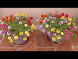 How to grow-Table Rose-Moss Rose-Portulaca Grandiflora-Japanese rose-sun...  | Portulaca grandiflora, Planting roses, Rose seeds