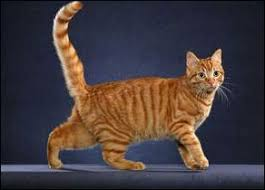 Tabby Patterns Classy The Taqpep Gene Discovered The Gene That Determines The Basic
