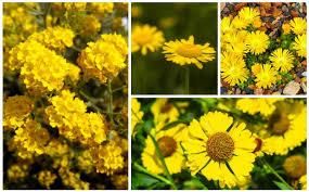 yellow perennial flowers