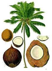 foot paths > > > > coconut the king chef of national   thoughts towards the very scientific cocos nucifera and i promised myself not to forget cashew nut at least at the beginning of this essay of mine