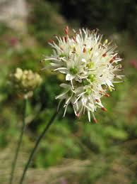 Allium ericetorum - Wikipedia