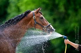 Paard drinkt veel