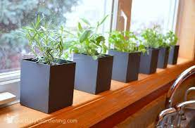 guide to growing a windowsill herb