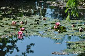 water lilies in claude monet s pond in giverny