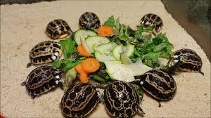 Ecco le Pyxis arachnoides, la tartaruga del Madagascar nata all'Acquario |  Video - Liguria Notizie