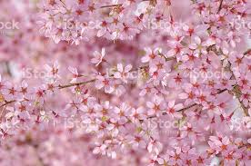 Download Cherry Blossom Backgrounds High Quality Wallpaper