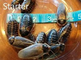 Dubia Roach Growth Chart Pet Supplies Dubia Roaches Small Medium Large X Large