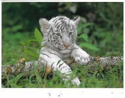baby white tigers wallpaper. Modren Wallpaper Baby White Tiger Wallpaper Inside Tigers I