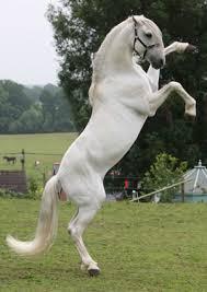 white horse rearing. Plain Horse Rent White Horse Rearing 1 To E