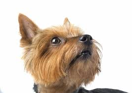 my family has owned 3 yorkshire terriers within the past couple of yeary wife and i both have aunts who own mini or teacup yorkshire terriers
