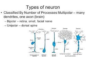 Neuron Types Under Fontanacountryinn Com
