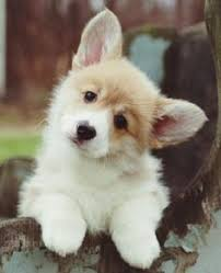 cutest corgi puppy. Unique Puppy Welsh Corgi Pup I Must Have One As A Brother Or Sister For Penny In Cutest Corgi Puppy S