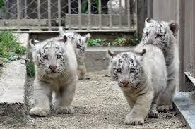 baby white tiger. Modren Tiger Intended Baby White Tiger