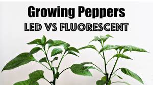 Best Led Grow Light For Peppers 2015 Growing Peppers Led Vs Fluorescent