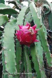 Dragon Fruit On The Year Of The Dragon  WPu0027s BlogDragon Fruit On Tree