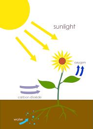 ışık klorofil ile ilgili görsel sonucu