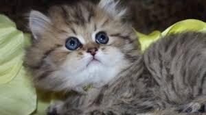 teacup persian cat. Plain Persian Watch A Persian Kitten Grow Golden Teacup Kittens For Sale At  CatsCreationcom In Cat